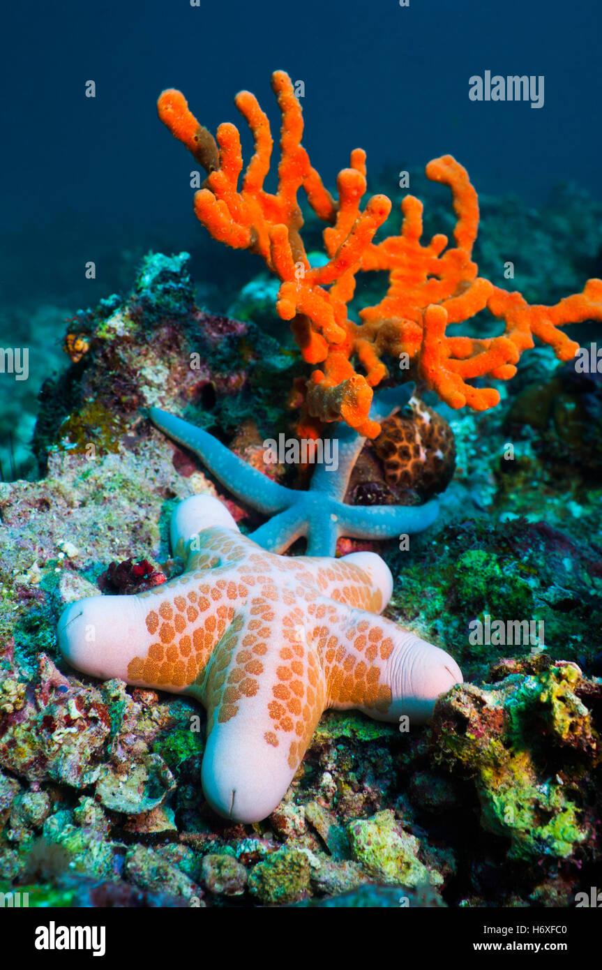 Cushion star (Choriaster granulatus), Blue linckia starfish (Linckia laevigata) and Red rope sponge (Amphimedon - Stock Image