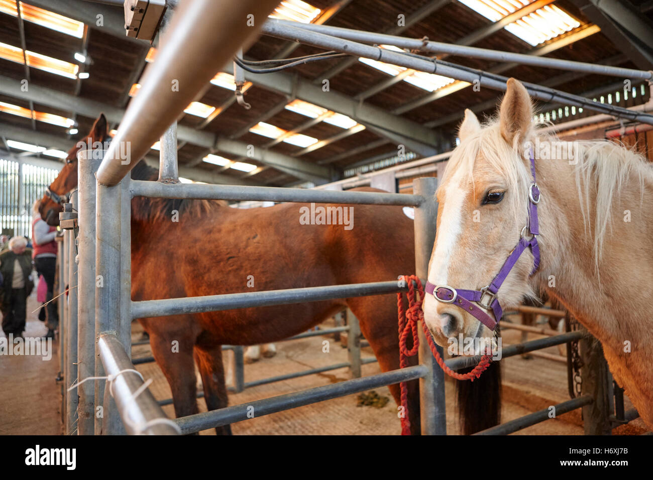 horses to be auctioned at horse and livestock auction barn beeston castle england uk - Stock Image