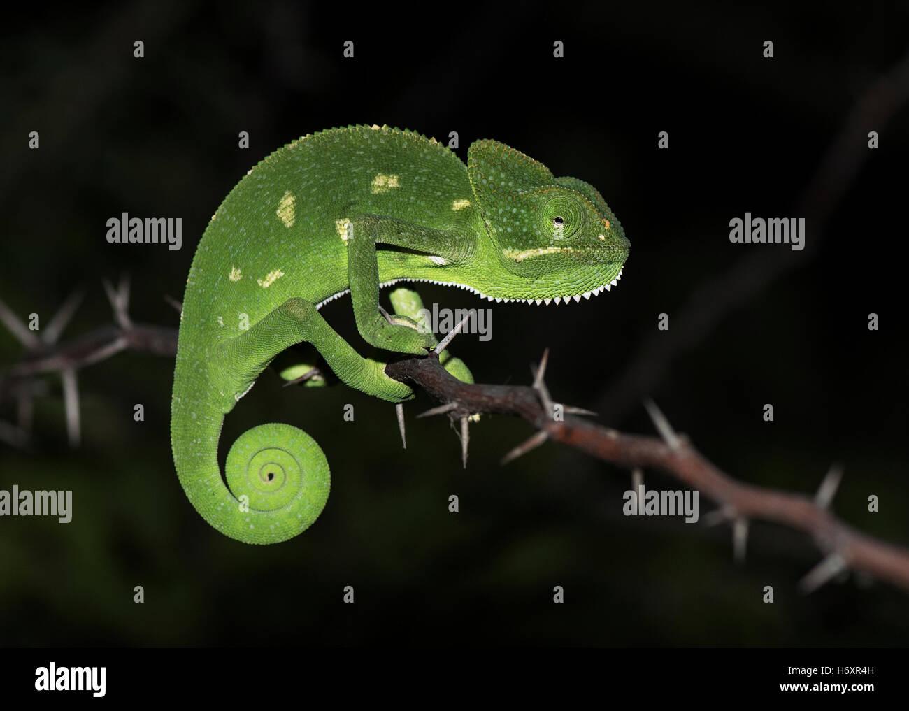 The image of Chameleon ( Chamaeleo zeylanicus) was taken near Pune, India - Stock Image