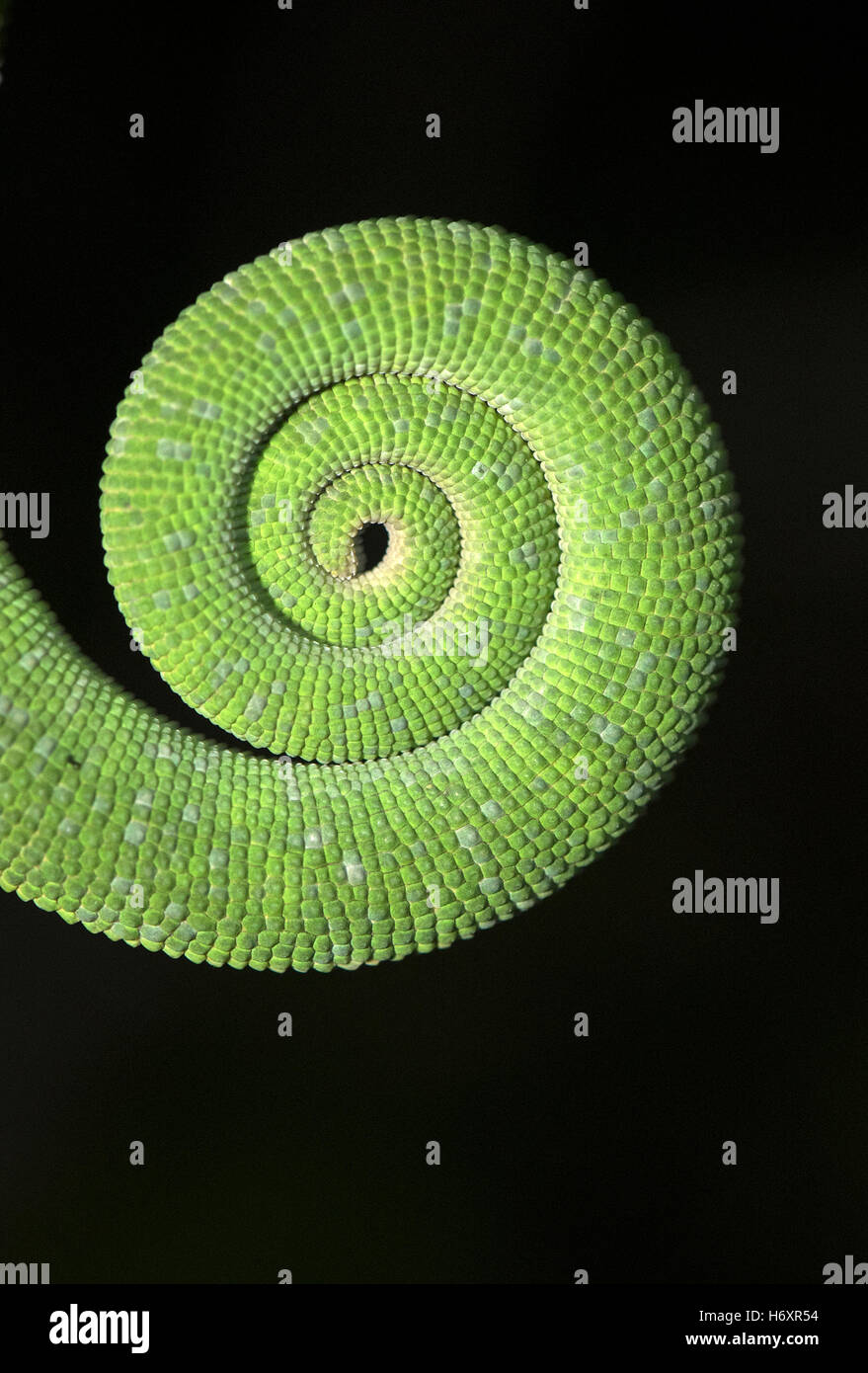 The image of Tail of Chameleon ( Chamaeleo zeylanicus) was taken near Pune, India - Stock Image