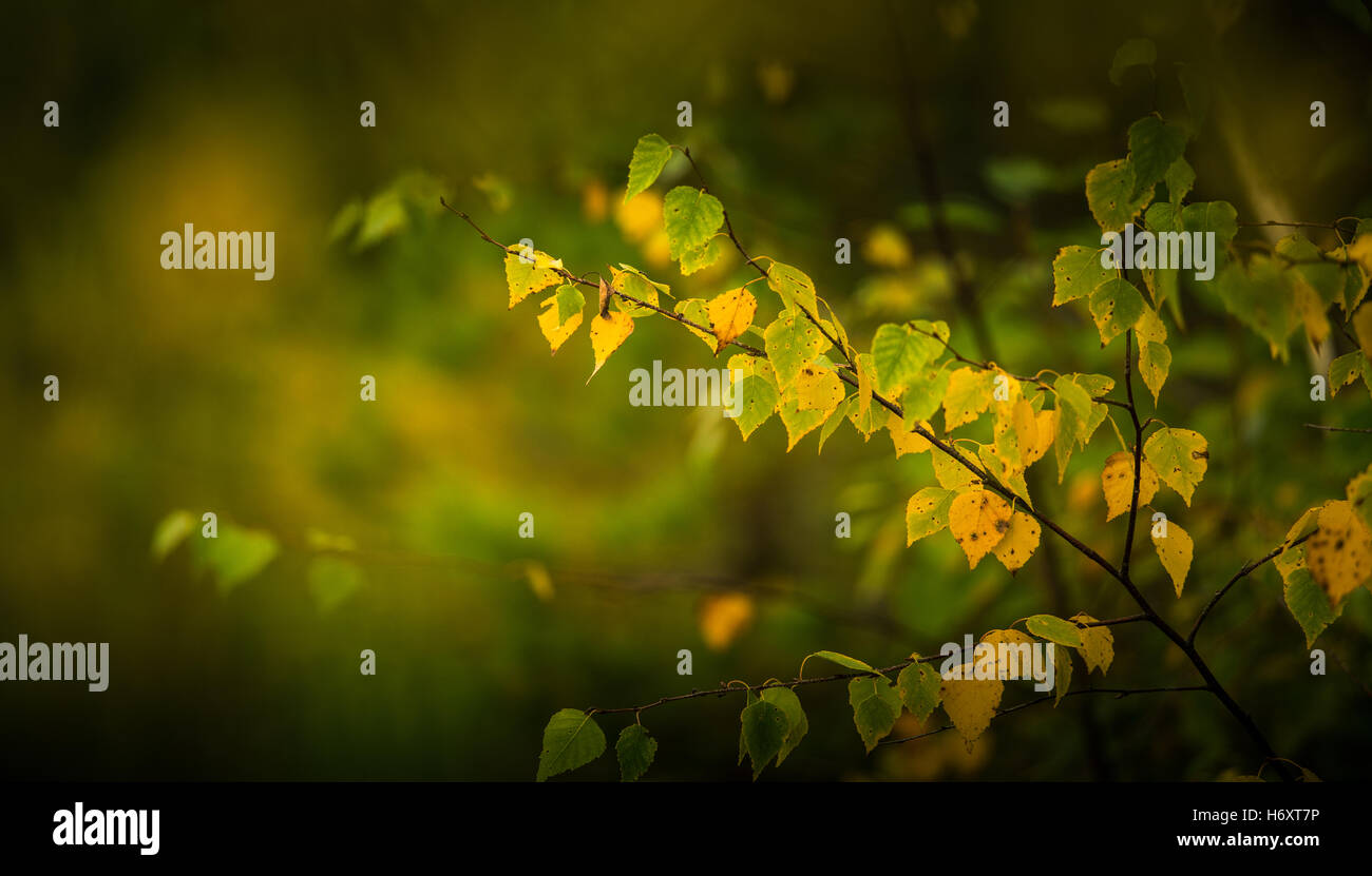 Yellow birch leaves in autumn - Stock Image
