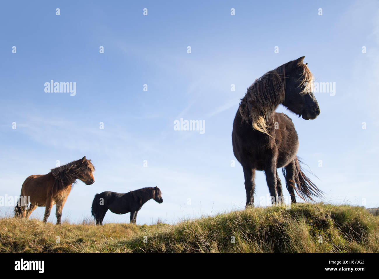 Dartmoor ponies looking down from a high ridge on the moor. - Stock Image