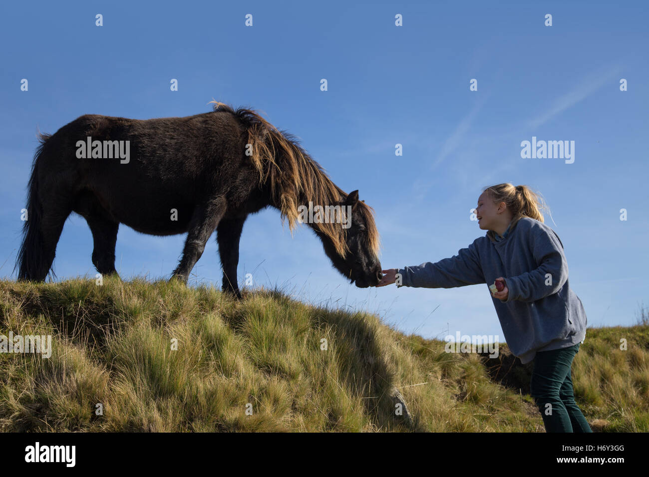 A girl feeds an apple to a dartmoor pony, with a blue sky backdrop - Stock Image