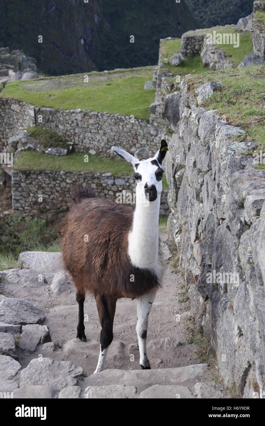 Llama on the Inca Trail at Machu Picchu, Sacred Valley, Peru - Stock Image