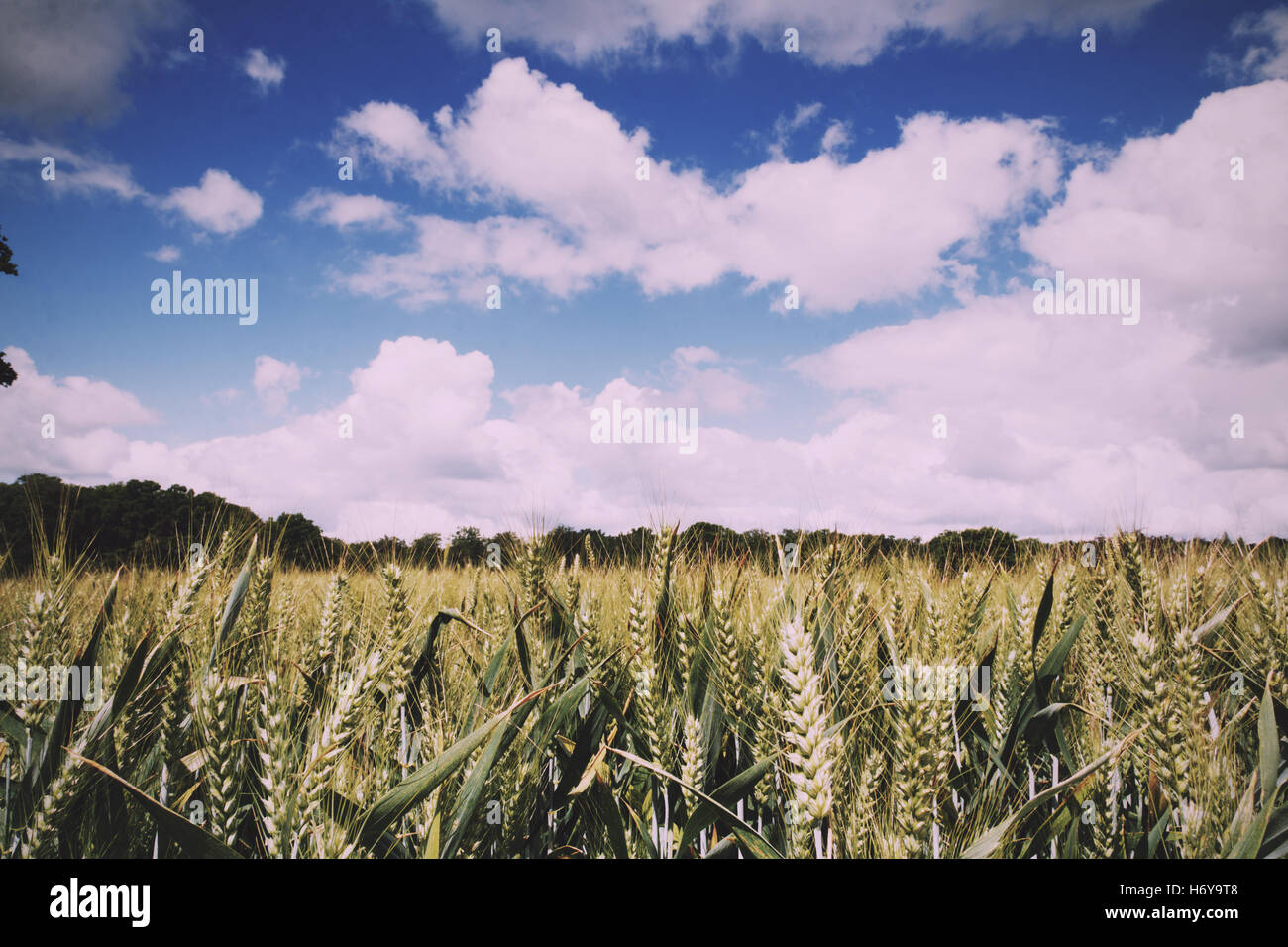 Wheat growing in a field in the Chilterns, England Vintage Retro Filter. - Stock Image