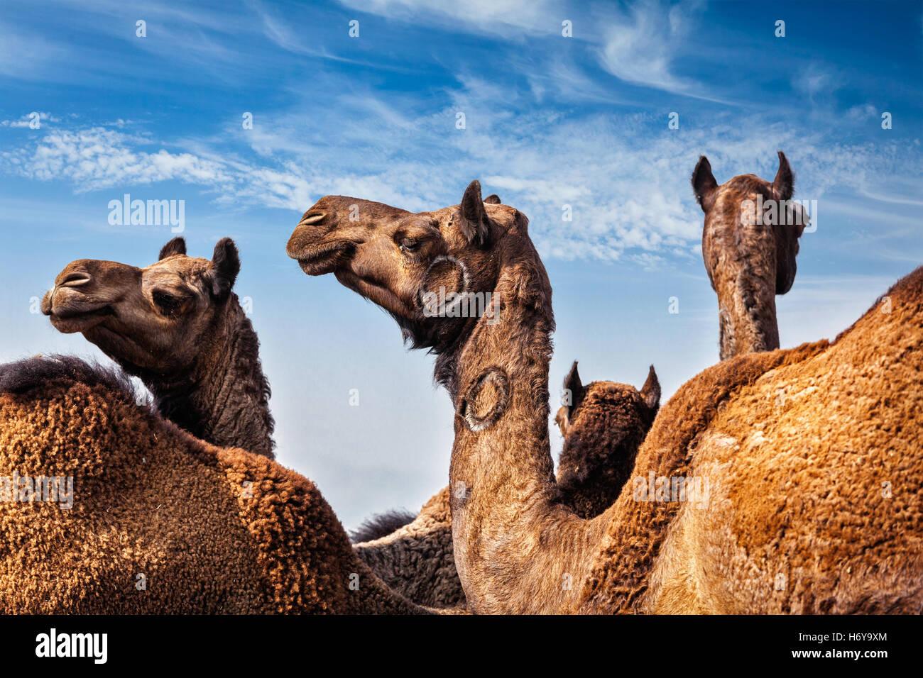 Camels at Pushkar Mela (Pushkar Camel Fair), India - Stock Image