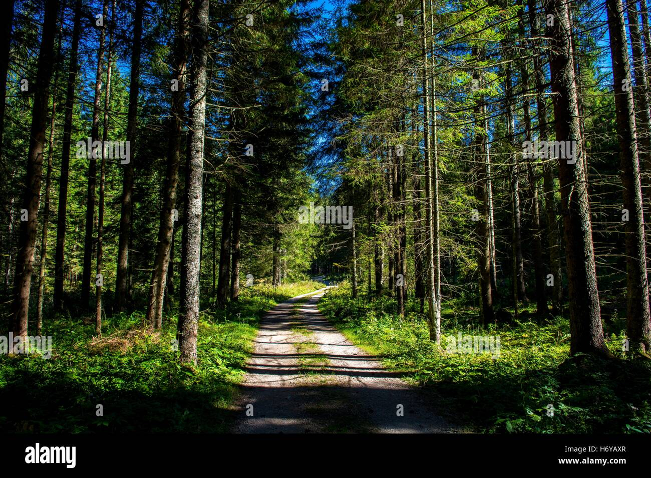 Gravel Road through Sunlit Conifer Forest in Austria - Stock Image