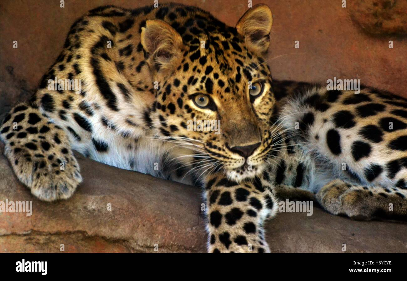 An adult female Amur Leopard (Panthera pardus orientalis) - Stock Image