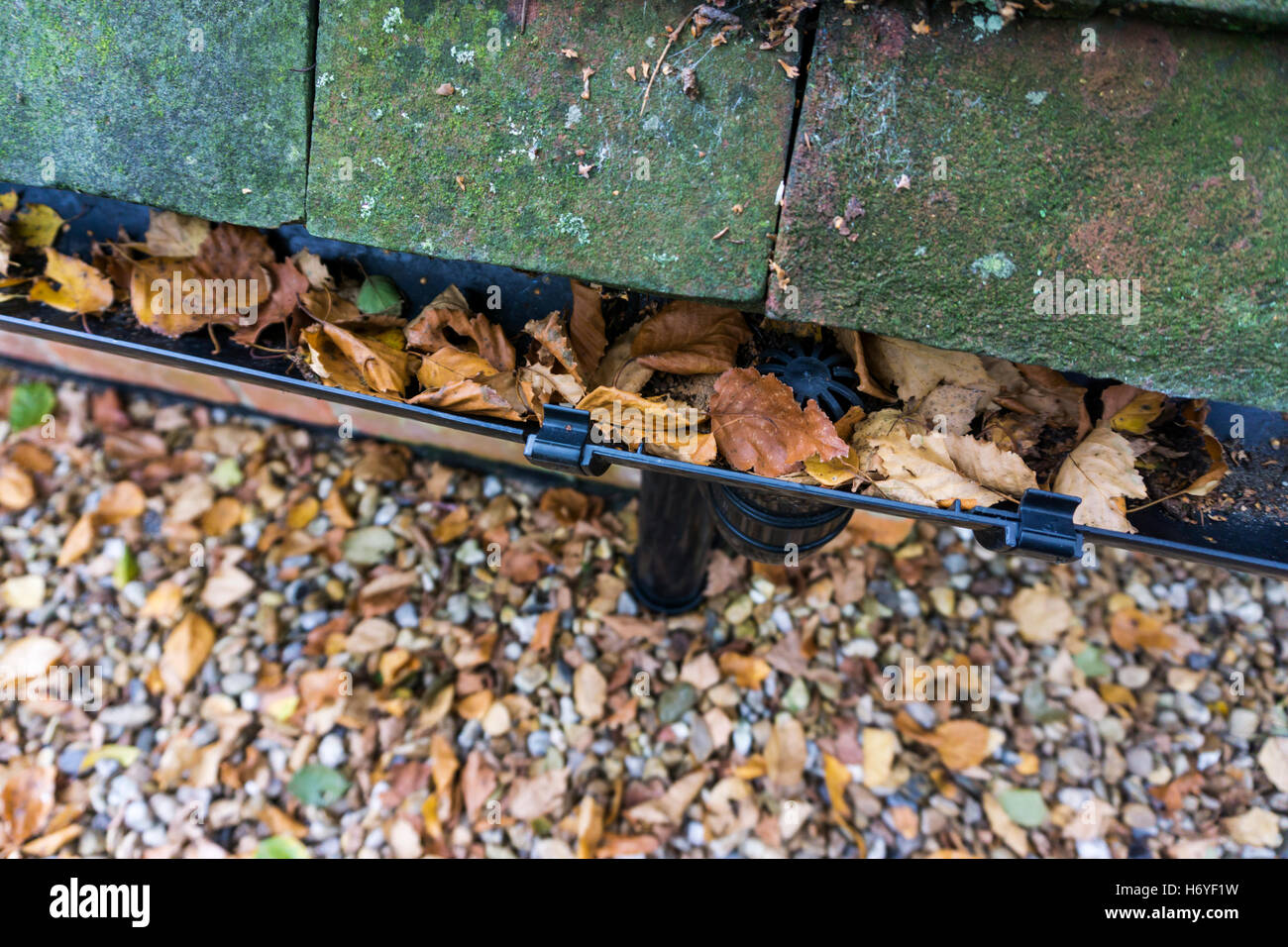 A rainwater gutter on a house becoming blocked with autumn leaves. Stock Photo