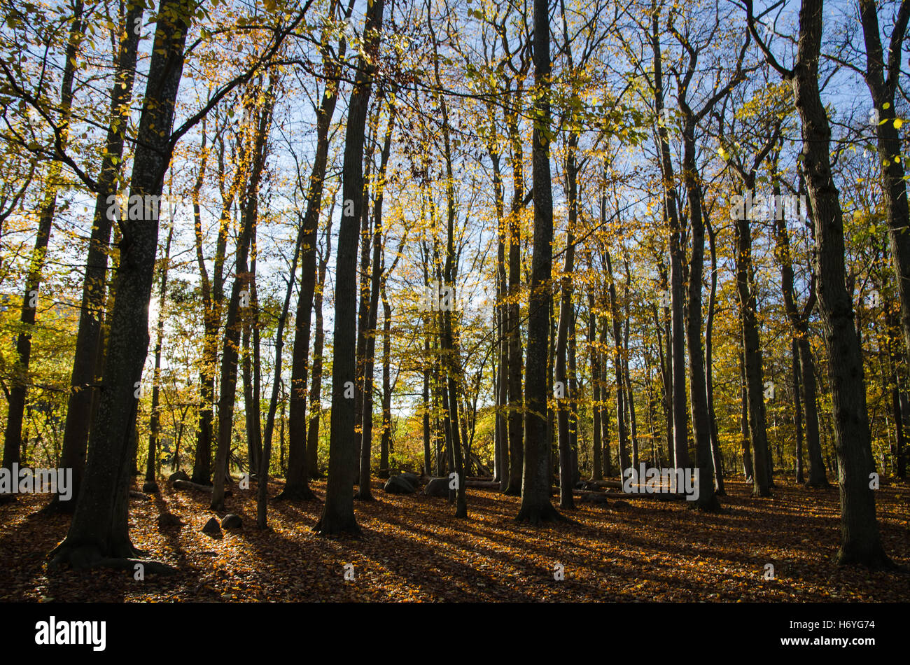 Glorious beech forest in back light and in fall colors - Stock Image