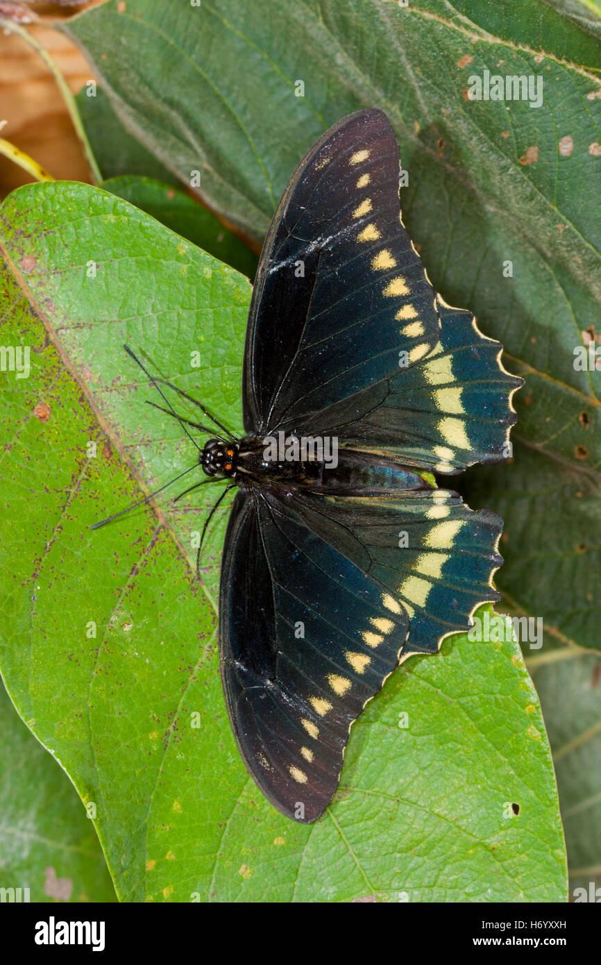 Polydamas Swallowtail  Battus polydamas    Gomez Farias, Mexico 13 November 2003       Adult       Papilionidae - Stock Image