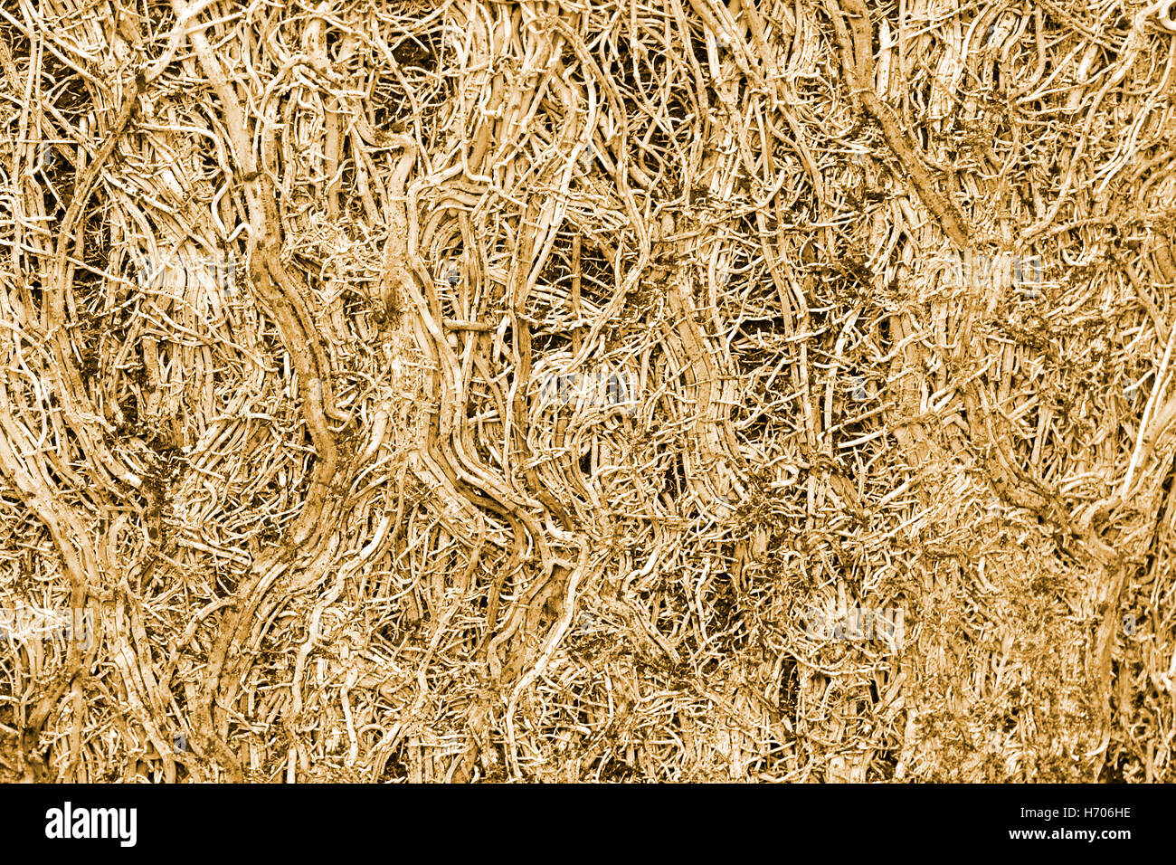 Abstract close up image of tight tangled cluster of roots of a pot bound Bamboo plant after pot removal concept - Stock Image