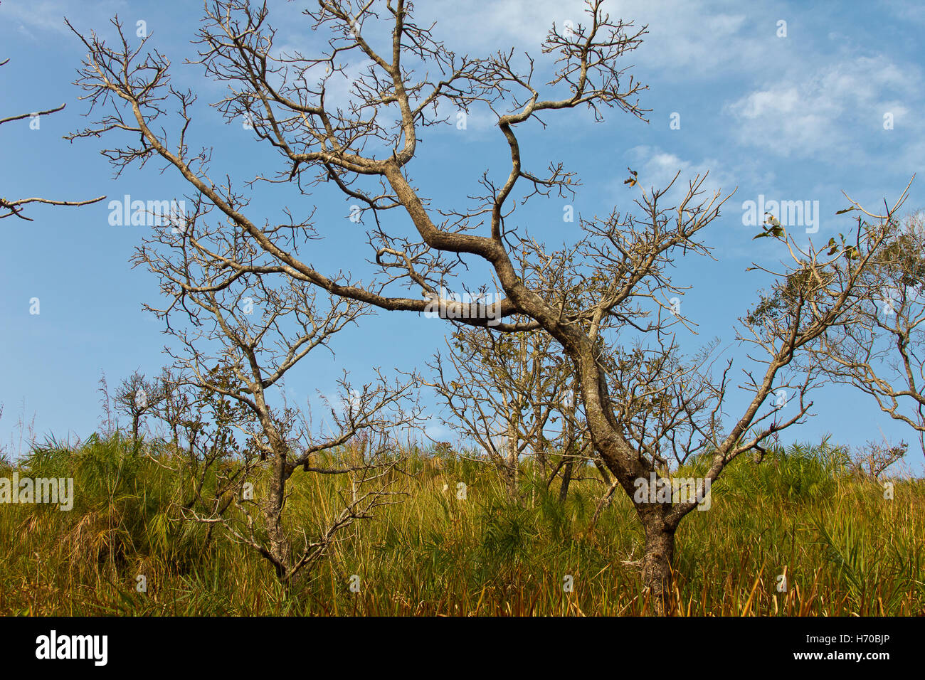 Leafless tree on grassy land against blue sky - Stock Image