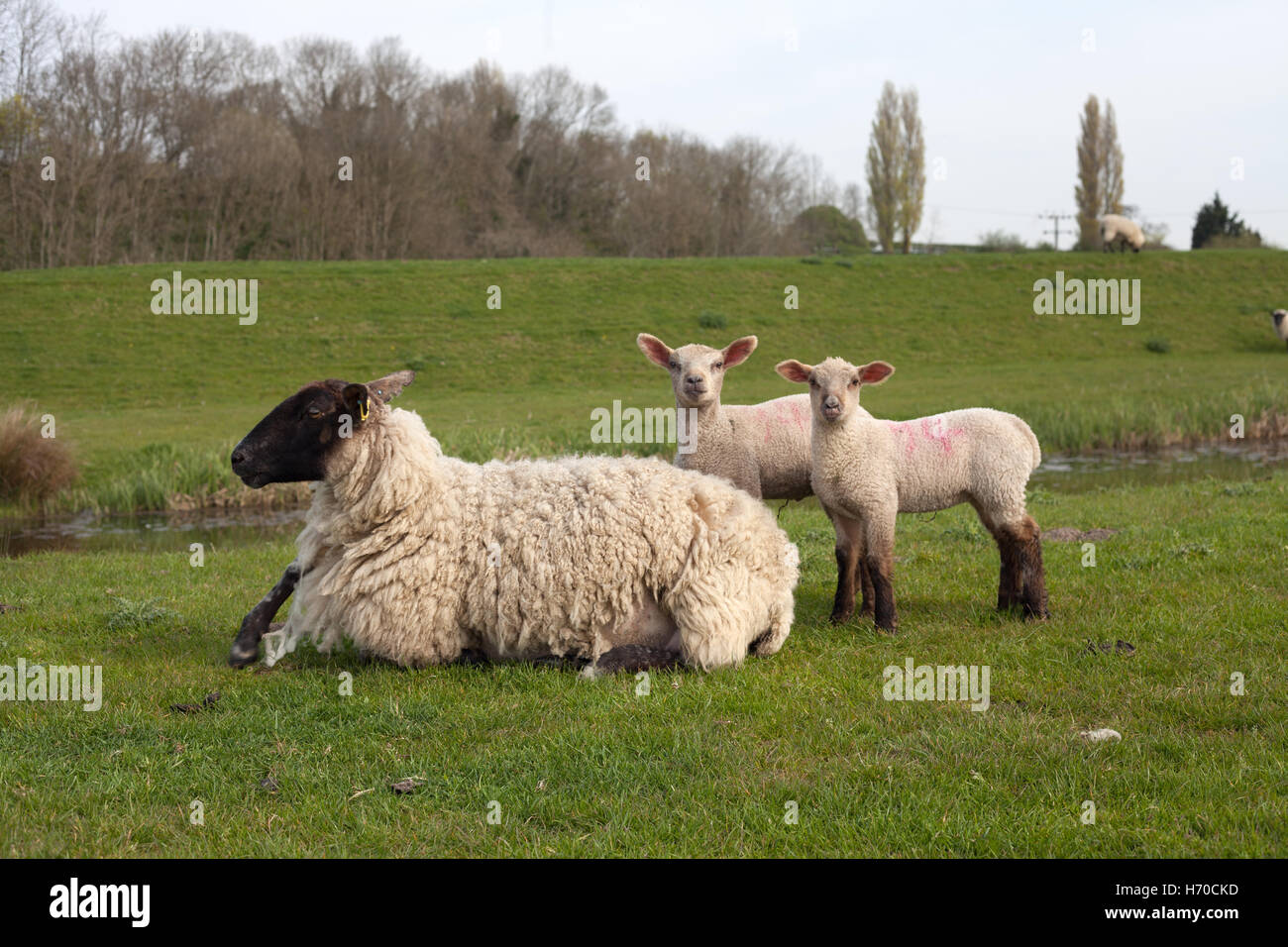 Black head ewe with her two lambs, Winchelsea, Sussex, UK - Stock Image