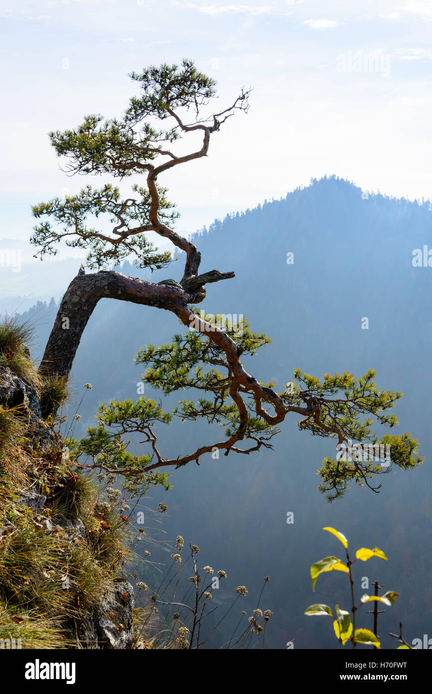 Very old relict pine in Pieniny mountains in Poland - Stock Image