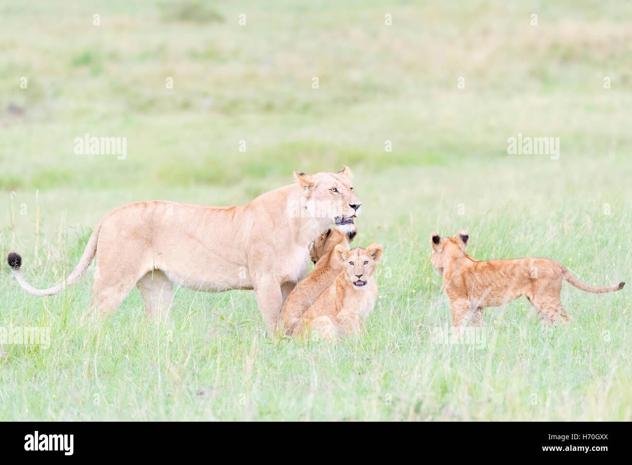 Lioness (Panthera leo) greeting cubs, Maasai Mara national reserve, Kenya - Stock Image