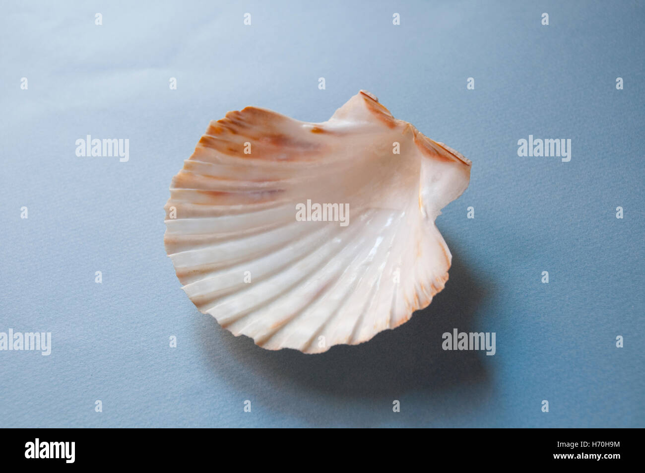 Shell of scallop. - Stock Image