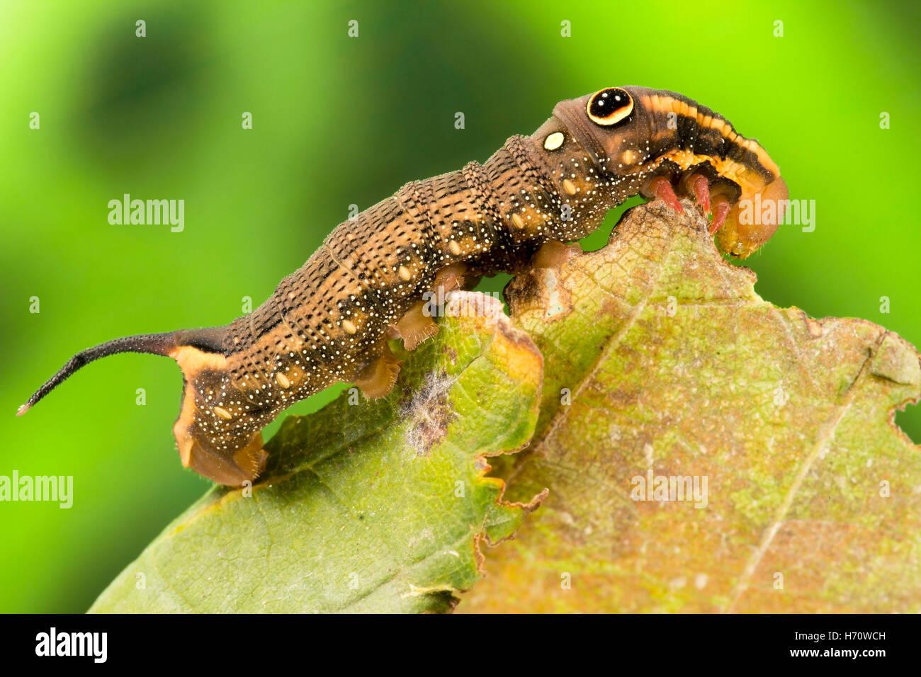 Vine Hawk Moth's False eye caterpillar (Hippotion rosetta) - Stock Image