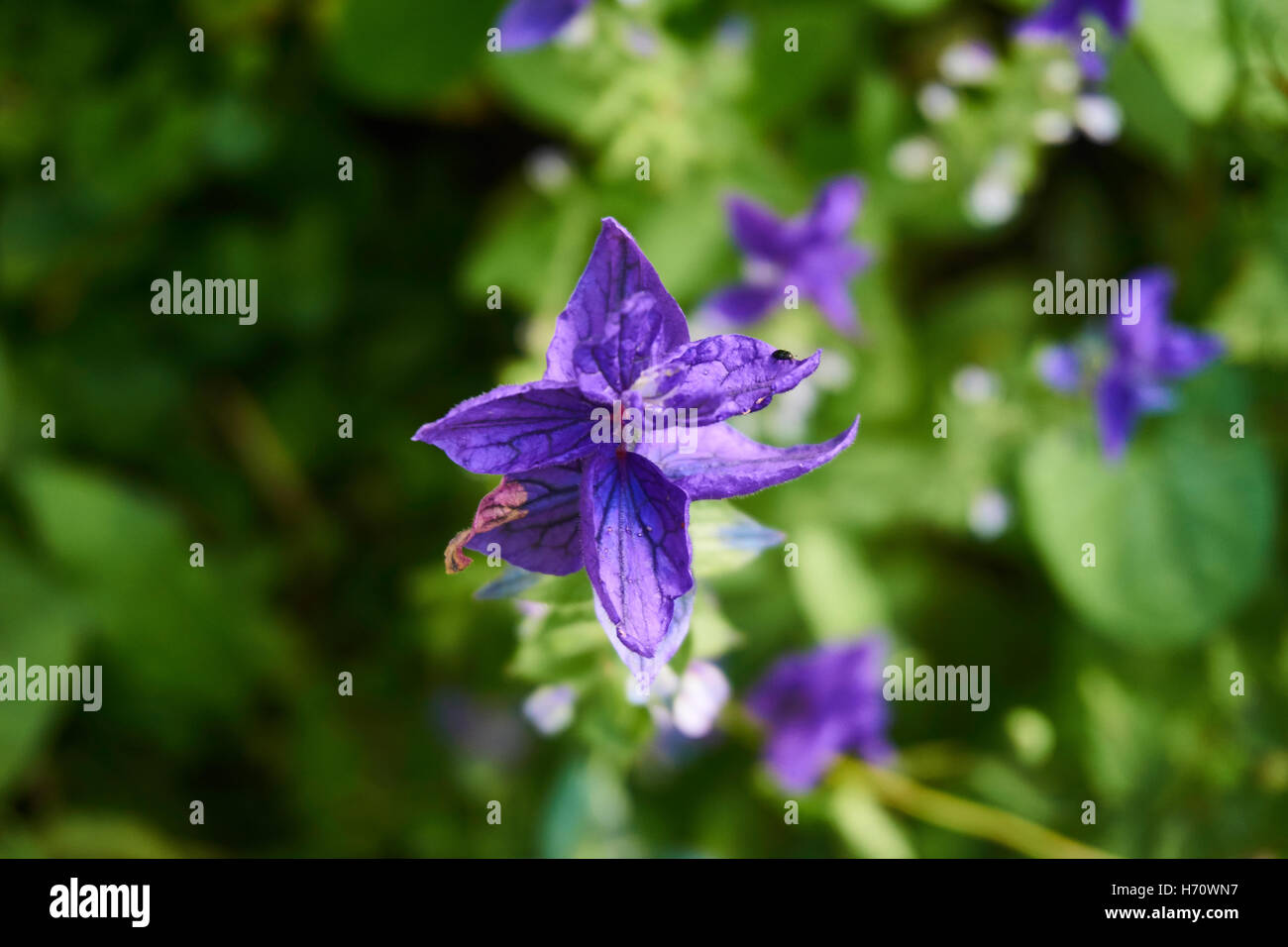 Blue flowers pink fern stock photos blue flowers pink fern stock extremely rare and beautiful garden well groomed with amazing species of flowers stock image izmirmasajfo