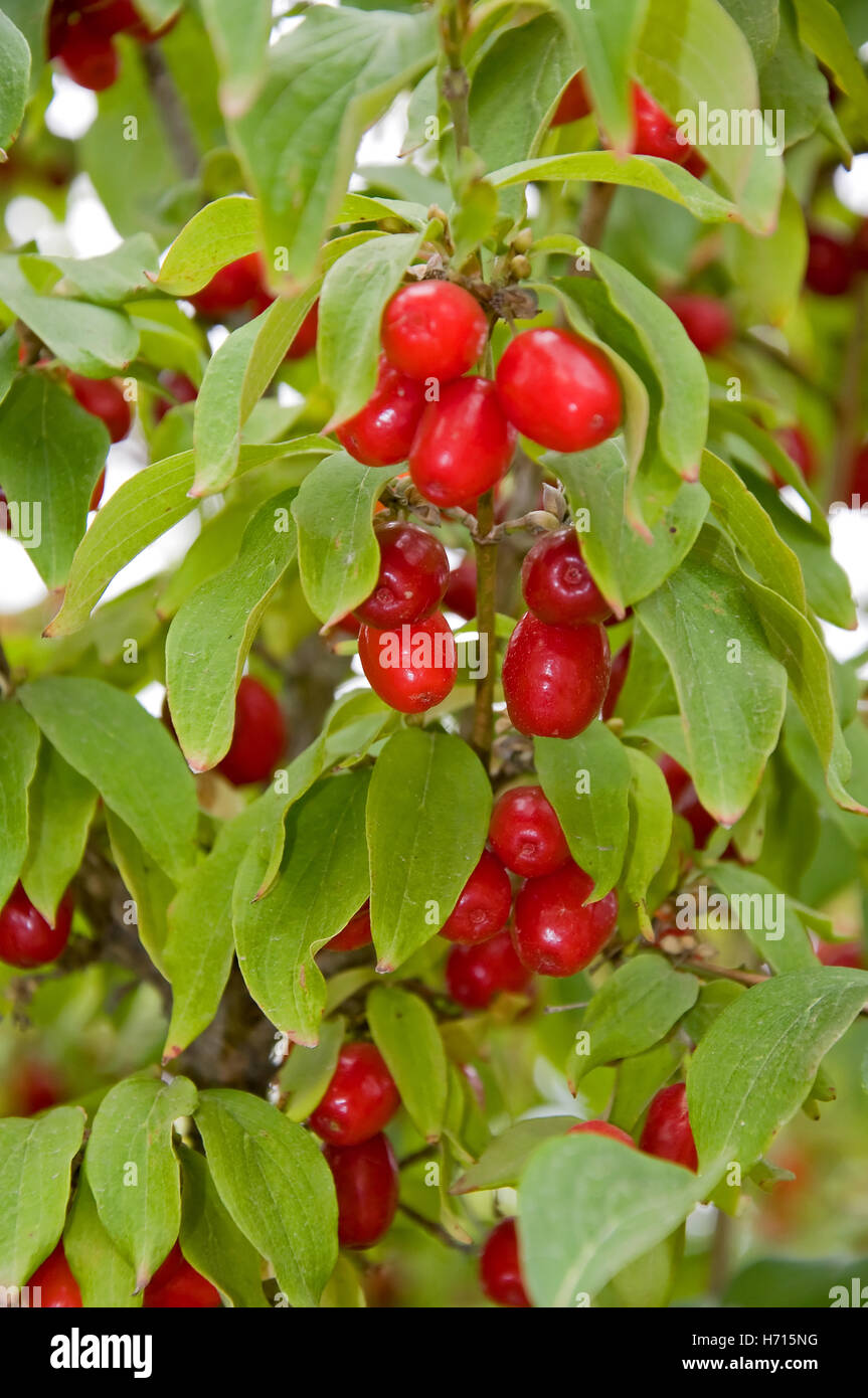 This vertical natural stock image is a Cornelian cherry tree or plant growing.  A rare and unusual specimen in gardening. - Stock Image