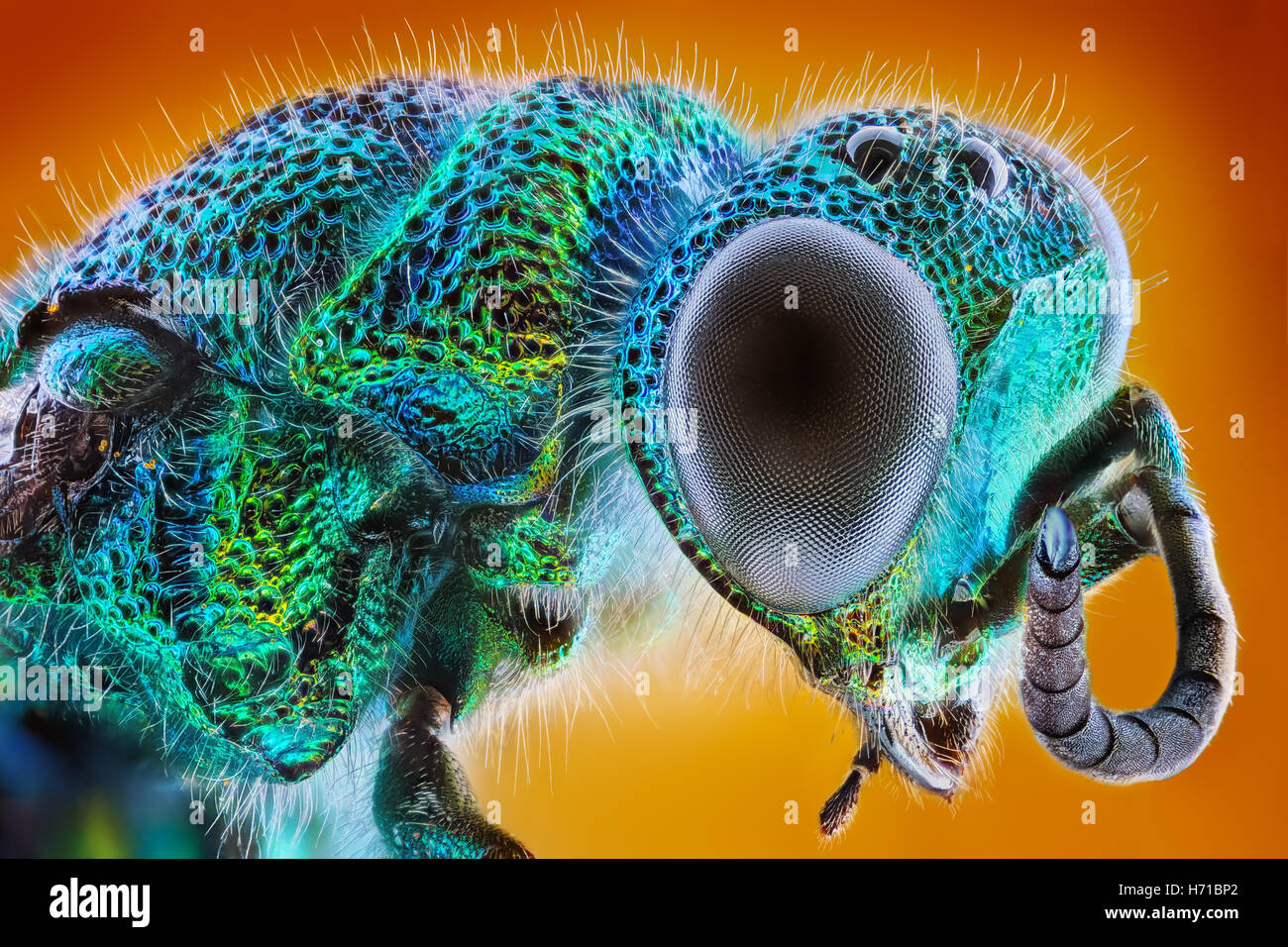 Extreme sharp and detailed study of Chrysis fulgida stacked taken with microscope objective, metallic jewel wasp - Stock Image