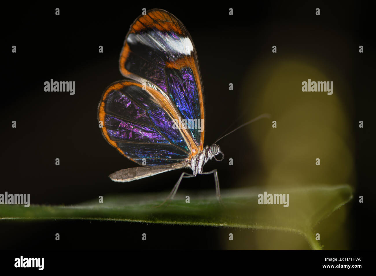 Glasswinged butterfly (Greta oto). Transparent Central and Southern American brush-footed butterfly in the family - Stock Image