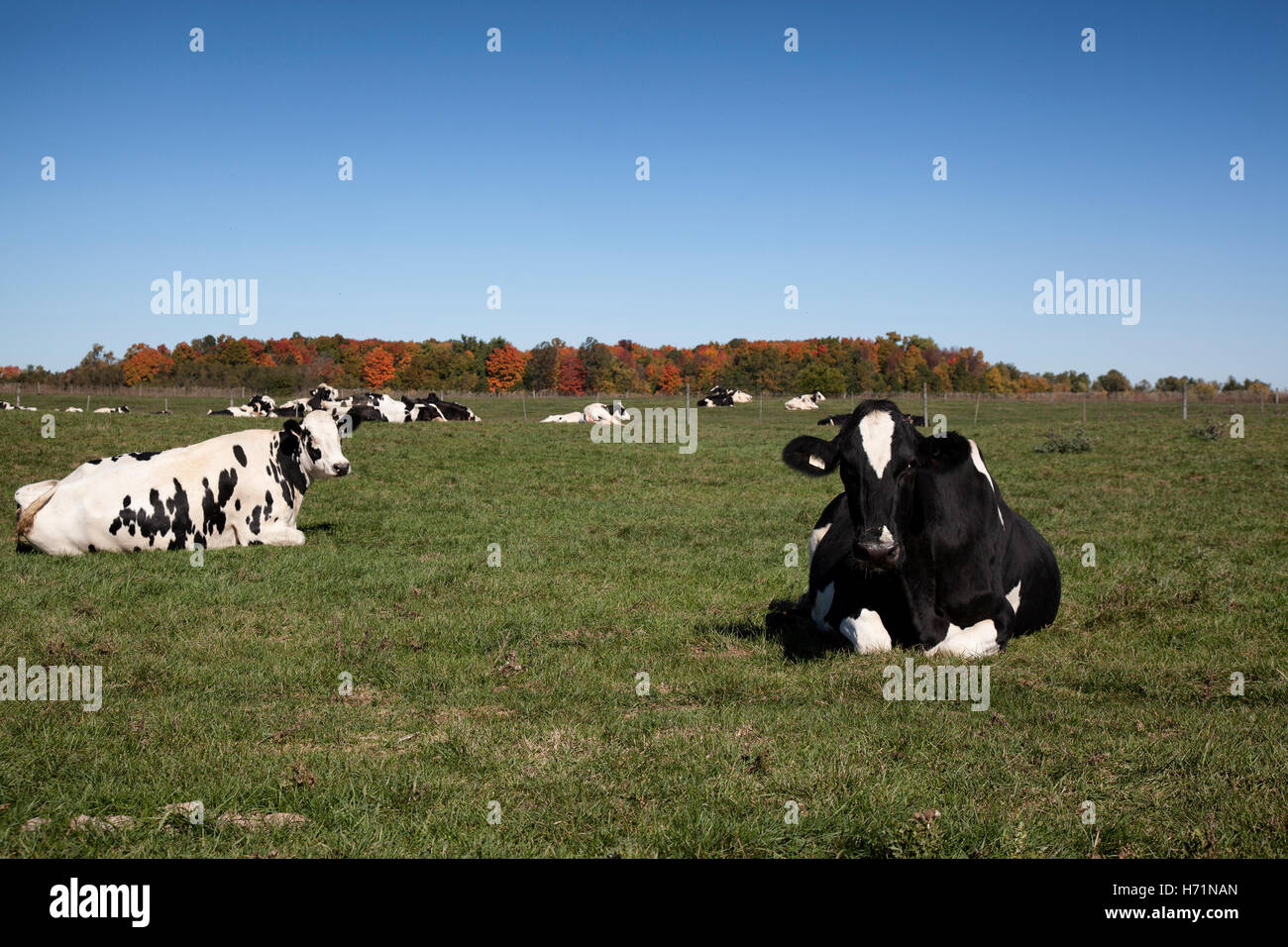 jersey cows livestock animal black white beef milk field farm farming agriculture industry free range outside nature - Stock Image