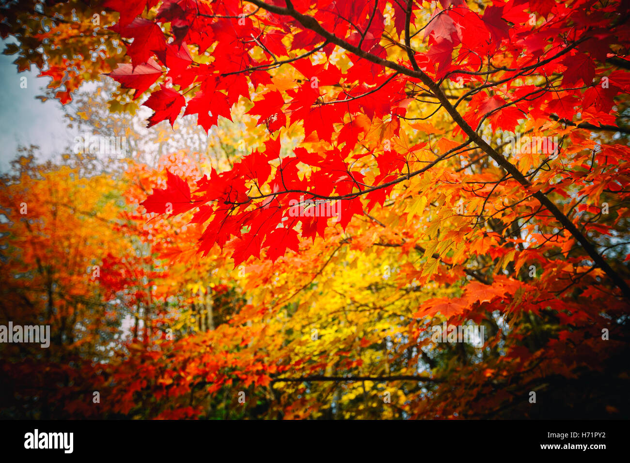 bright autumn leaves red and yellow maple leaves - Stock Image