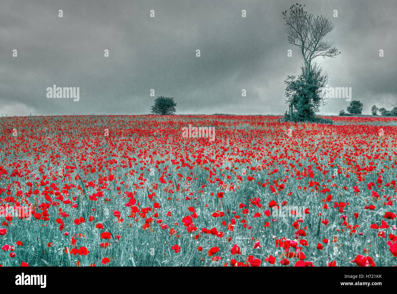 Poppy field near Llangollen in North Wales standing out in a sea of red - Stock Image