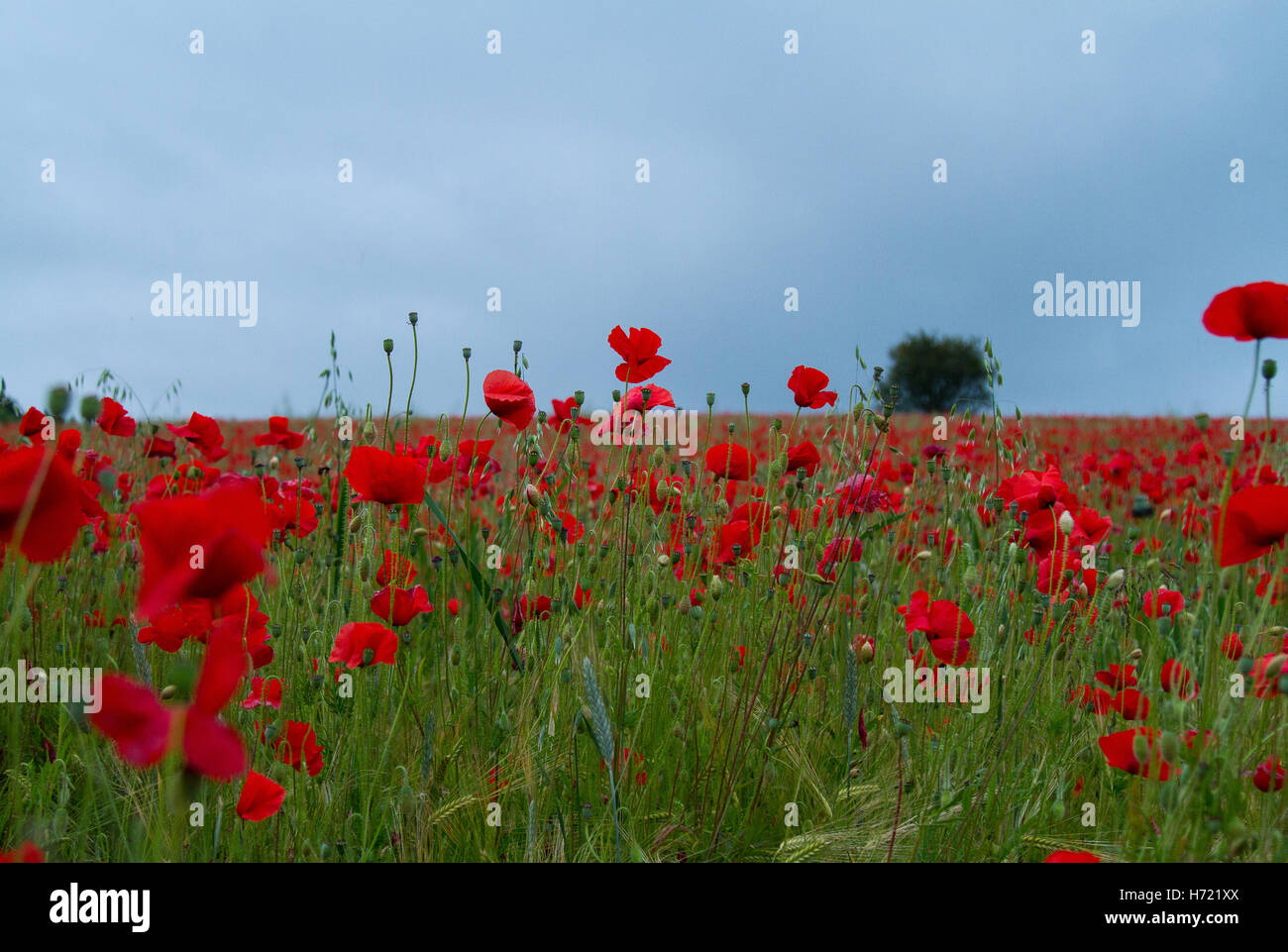 Poppy field near Llangollen in North Wales standing out in a sea of red and green - Stock Image