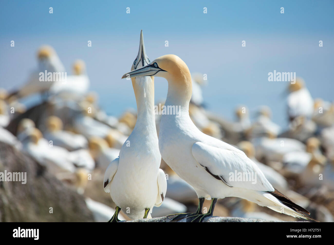 Northern Gannets (morus bassanus) in the colony on Great Saltee Island. County Wexford, Ireland. - Stock Image