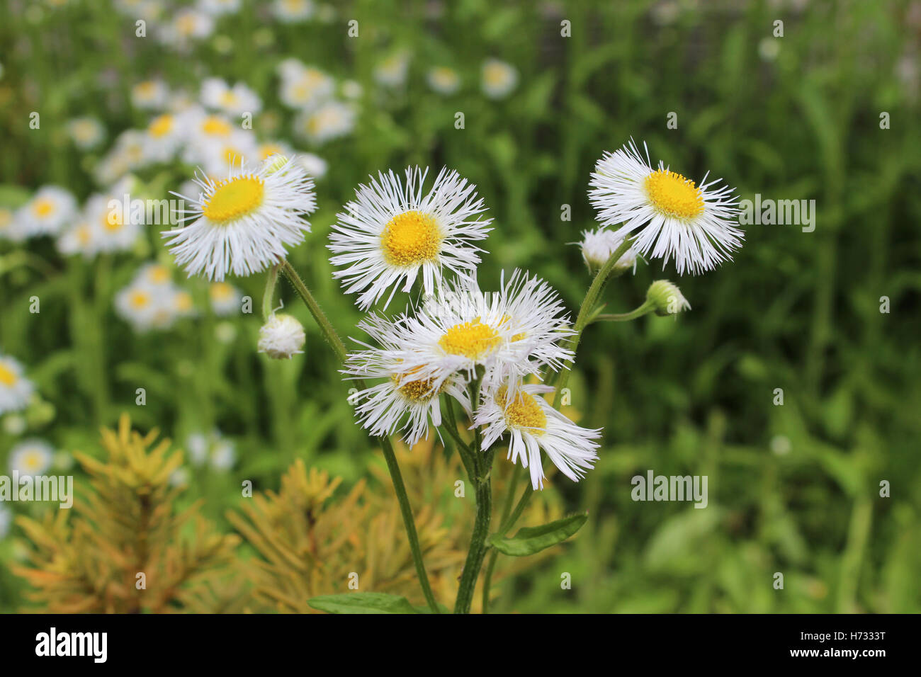 Flower with white petals and yellow center stock photos flower aster flower is white petals with the vivid yellow center in nara japan stock mightylinksfo