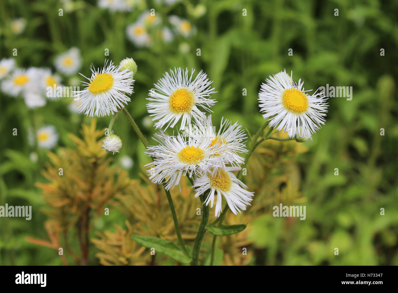 Flower With White Petals And Yellow Center Stock Photos Flower