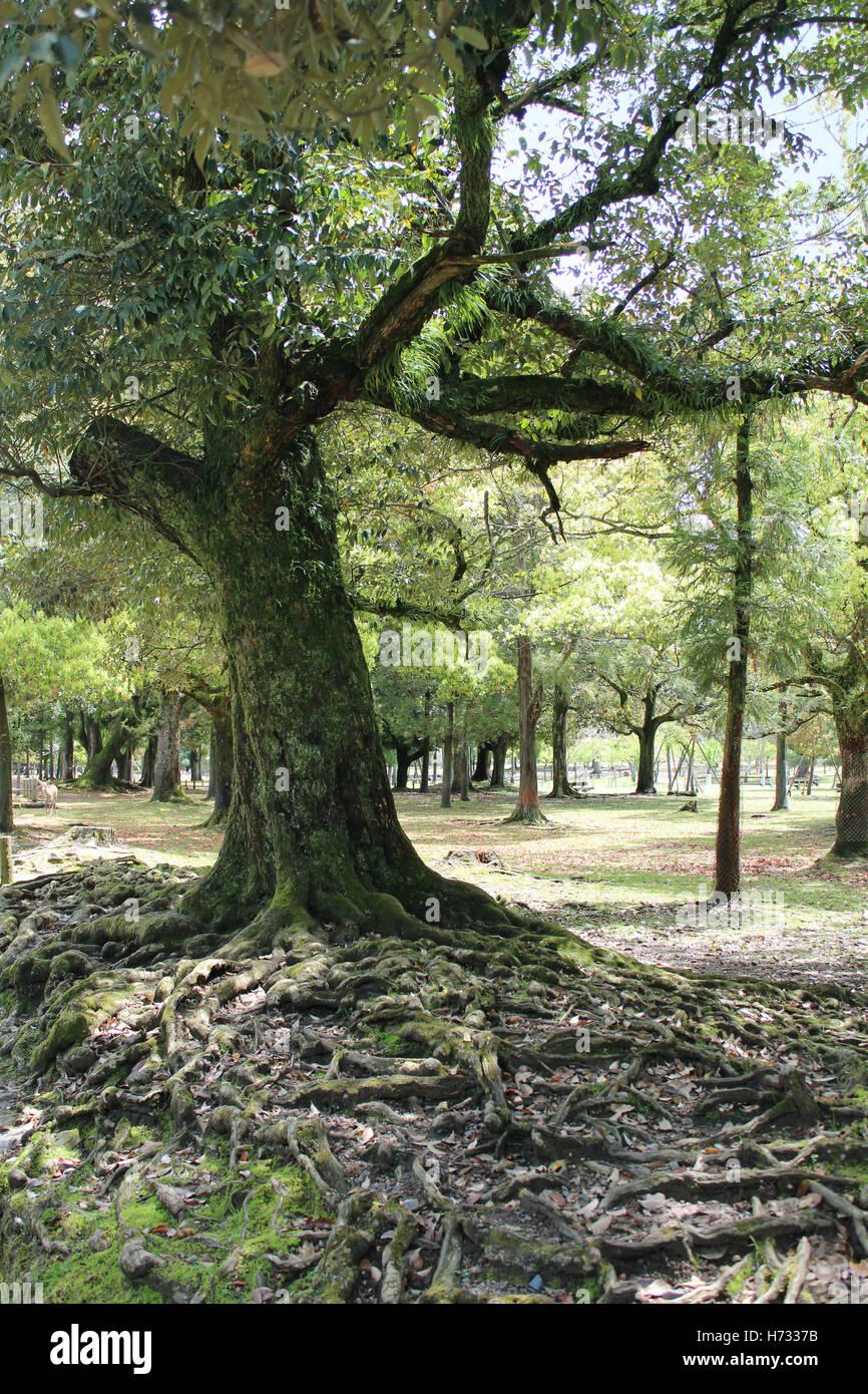 An old tree at Kasuga-yama Hill Primeval Forest, Nara, Japan - Stock Image