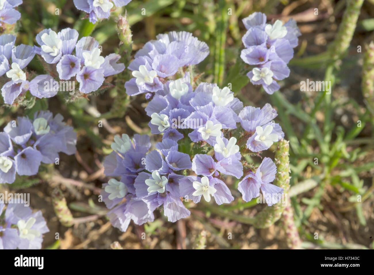winged sea lavender (Limonium lobatum) flower growing on sandy beach, Crete, Greece - Stock Image