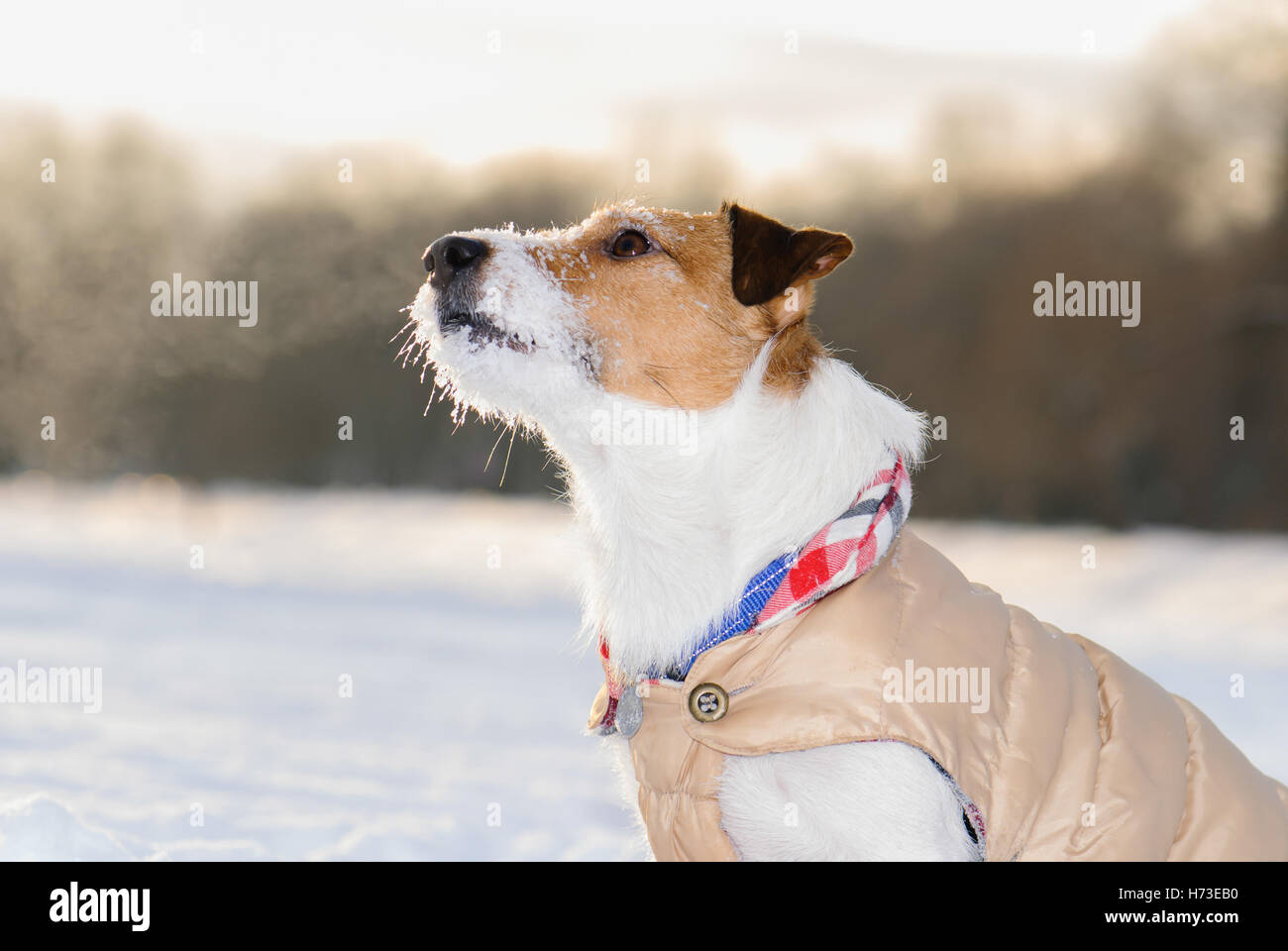 Obedient dog at cold day wearing warm coat apparel - Stock Image