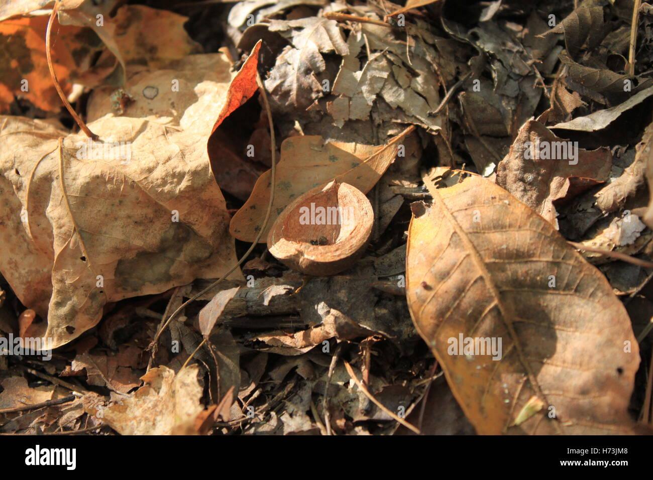 Hickory nut half (Carya glabra) - Stock Image