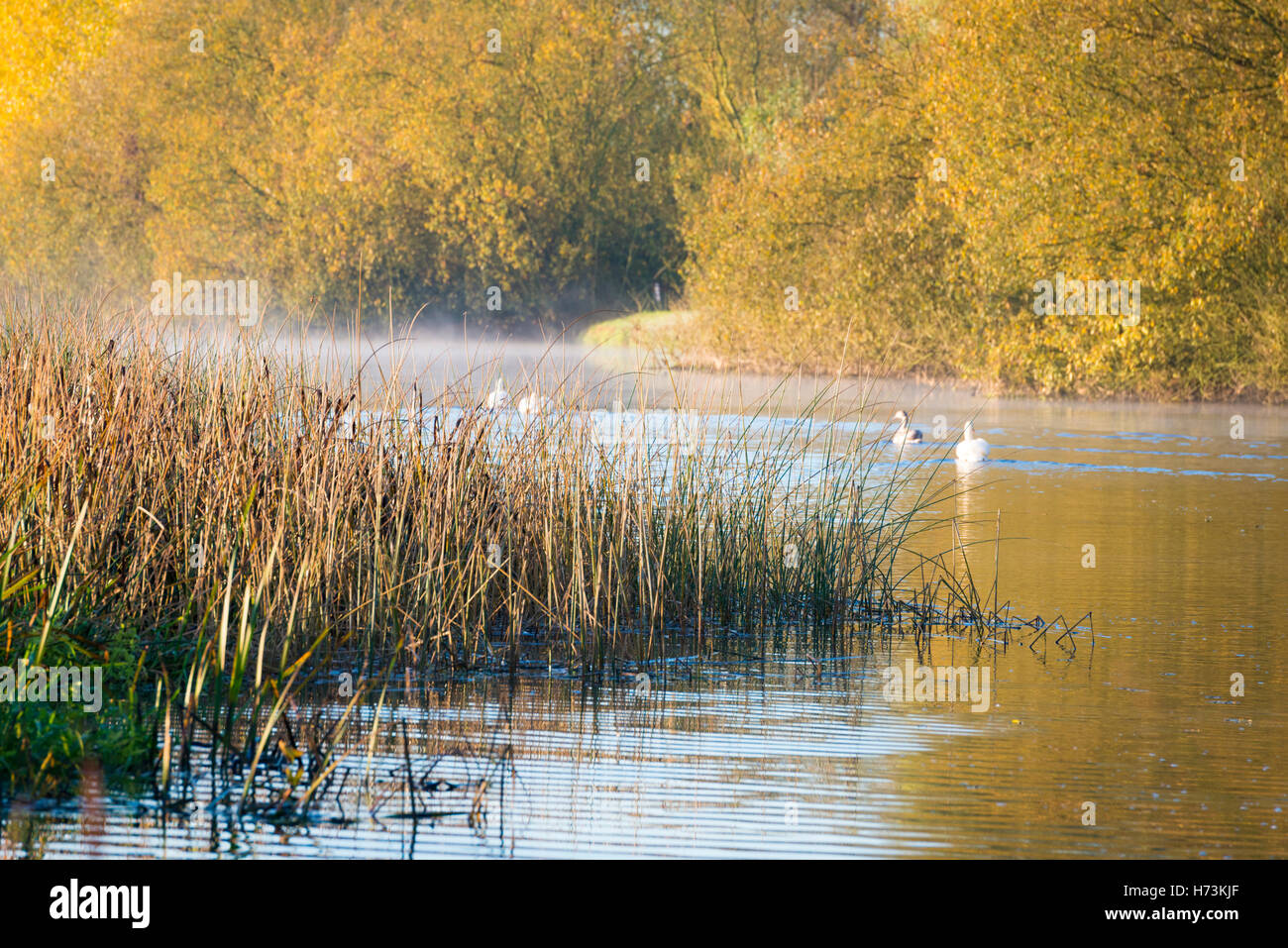Overcote, Cambridgeshire UK, 2nd November 2016.  Mist hangs over the River Great Ouse as as swans swim amongst the - Stock Image