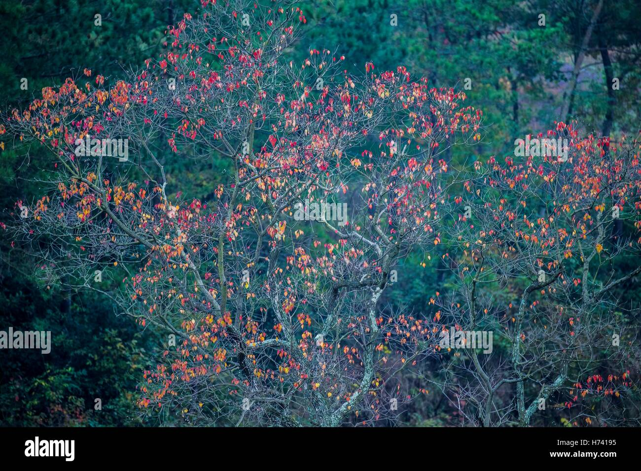 Dawu. 2nd Nov, 2016. Photo taken on Nov. 2, 2016 shows a Chinese tallow tree in Beishan Village of Dawu County, - Stock Image
