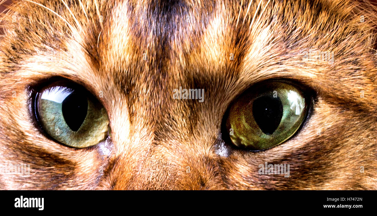 close-up of green cat's eye,abyssinian cat's face - Stock Image