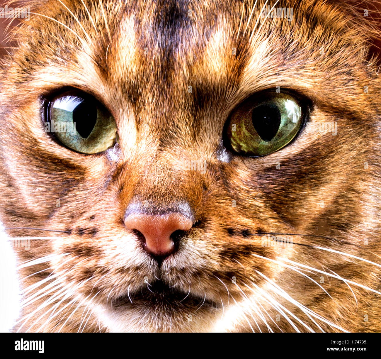 Close-up of abyssinian cat's face on white background - Stock Image