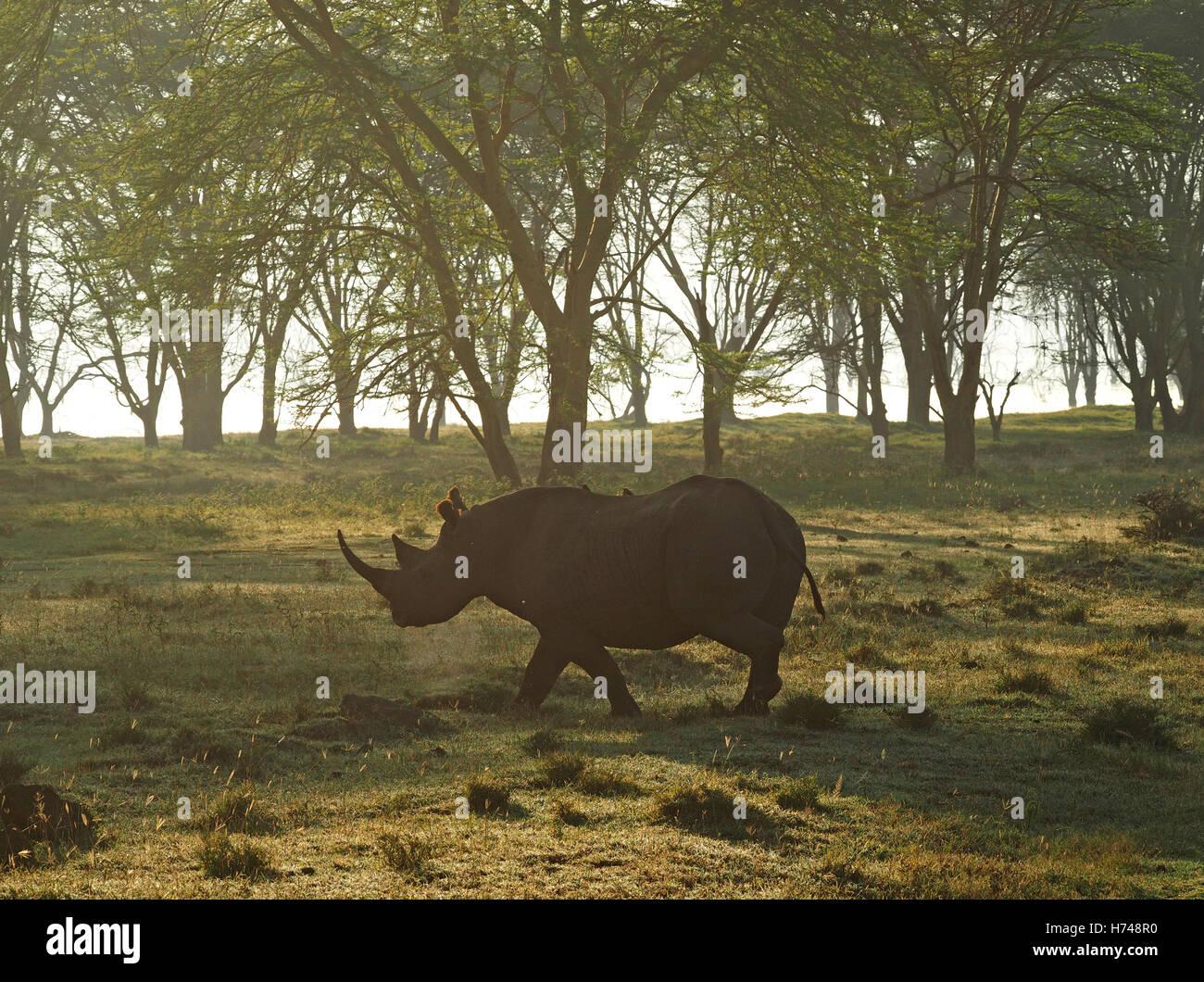 critically endangered black rhino (Diceros bicornis) steaming in soft morning light in lake shore woodland Kenya - Stock Image