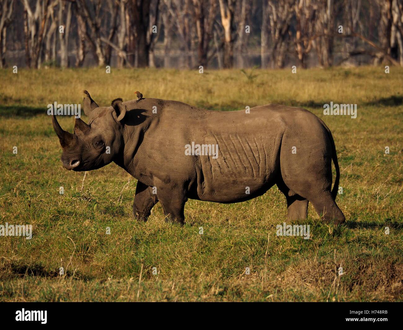 heavily creased male black rhino (Diceros bicornis) & attendant red billed oxpecker on lakeside grassland Kenya - Stock Image