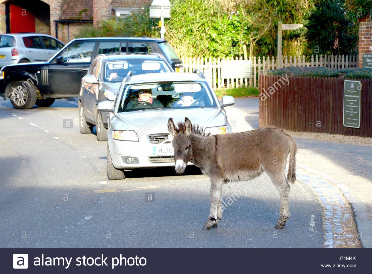 Donkeys and cattle freely wander the picturesque village of Beaulieu in the New Forest, Hampshire. - Stock Image