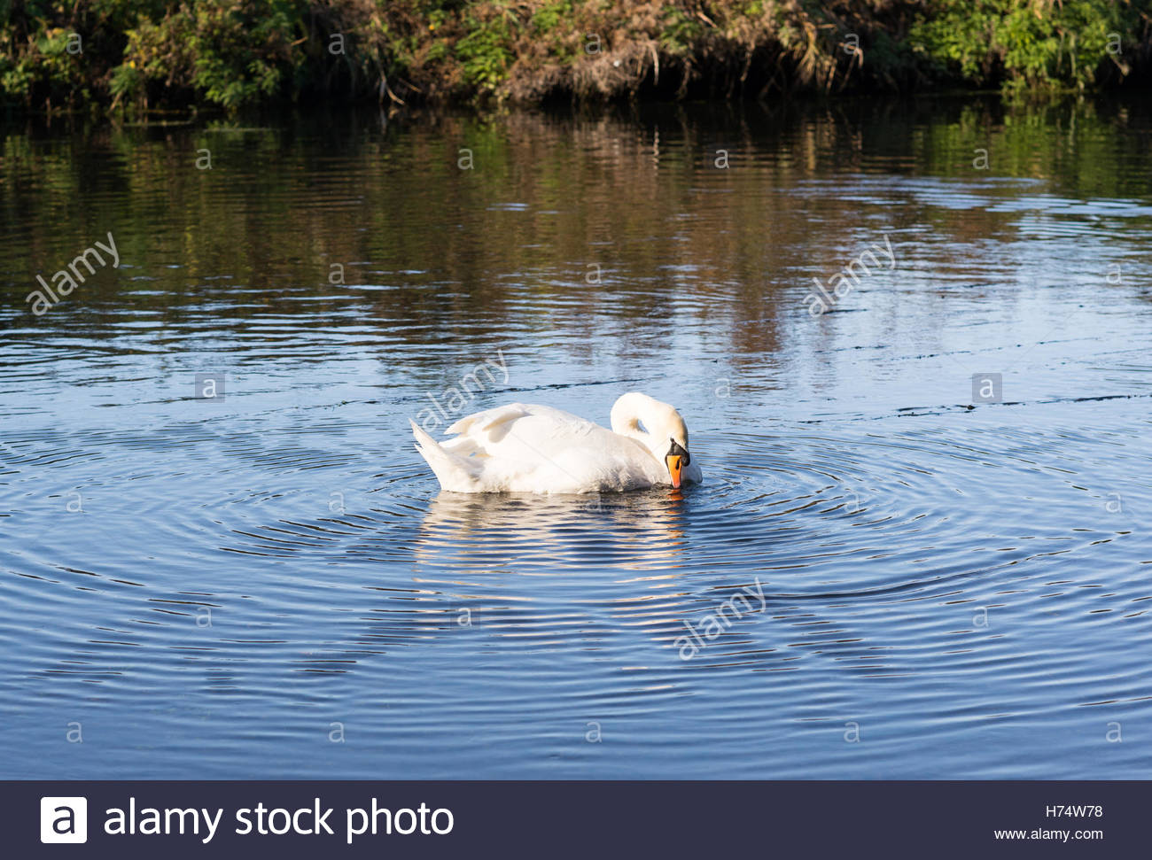Preening swan causing ripples on the water. - Stock Image