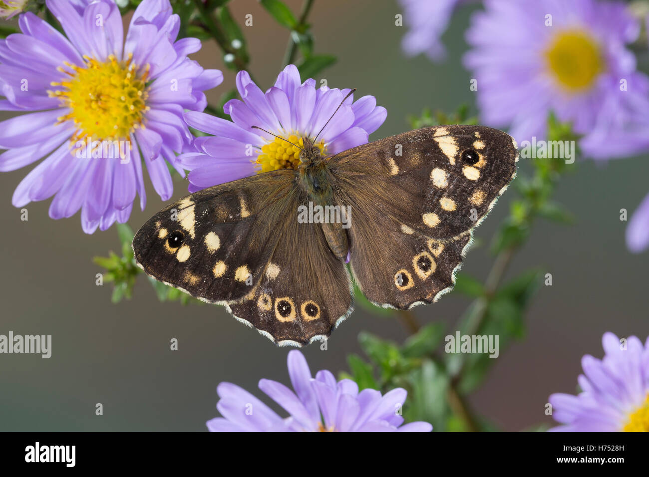 Wald-Brettspiel, Waldbrettspiel, Brettspiel, Laubfalter, Pararge aegeria, speckled wood, Le Tircis - Stock Image