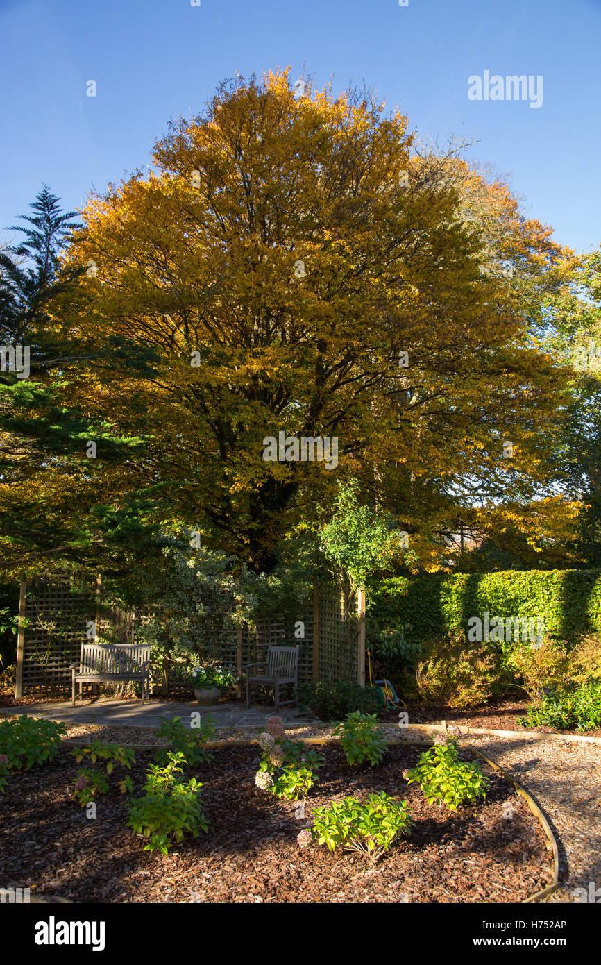 Hornbeam tree in full autumnal colour in a Devon garden. Hornbeam are hardwood trees, Carpinus in the birch family - Stock Image