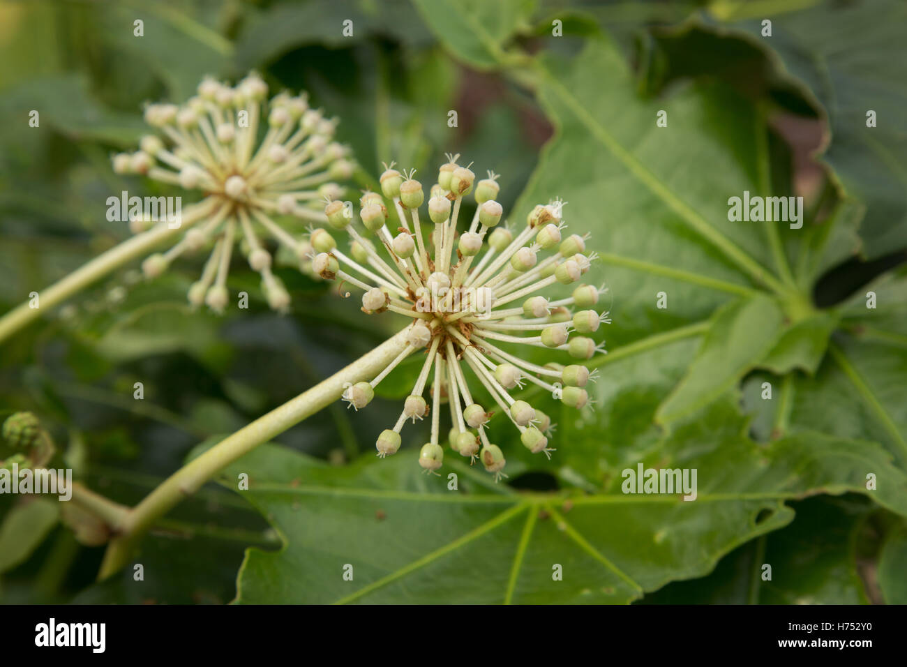 Fatsia Japonica in flower - an evergreen shrub in the Araliaceae family, also known as the paperplant, or fig leaved - Stock Image