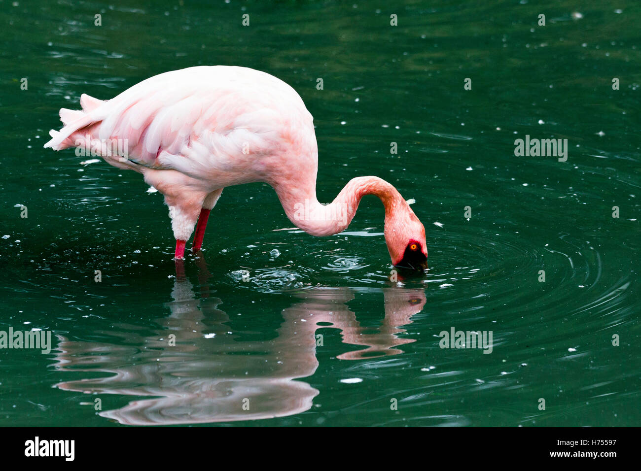 Lesser flamingo (Phoeniconaias minor) Stock Photo
