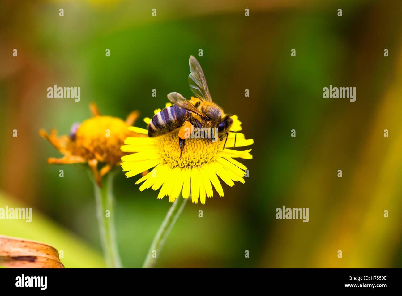 Honey bee with corbicula full of pollen - Stock Image